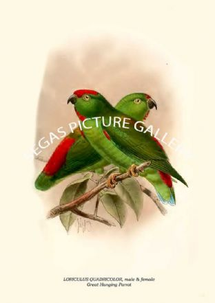 LORICULUS QUADRICOLOR - Great Hanging Parrot